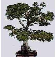 Come identificare bonsai