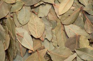 Cosa foglie di alloro Do pertinenza insetti?