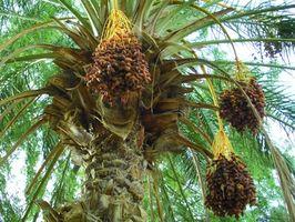Come prendersi cura di una data Palm Pigmy