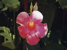 Che cosa è una pianta Mandevilla?