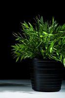 Gli arbusti possono essere coltivate in contenitori?