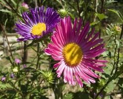 Tipi di Fall-Blooming Flowers