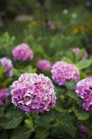 Come mantenere Hydrangea Flower Colori