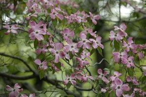 Cura e descrizione dei Pink Dogwood alberi