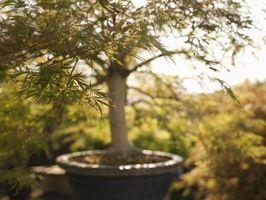 Come ottenere un albero bonsai per crescere Upright
