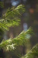 Come mantenere aghi del pino a Aceto