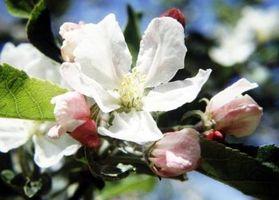 Come per impollinare le mele a mano nel frutteto di casa