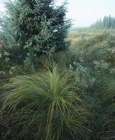 Tipi di Evergreen Grass