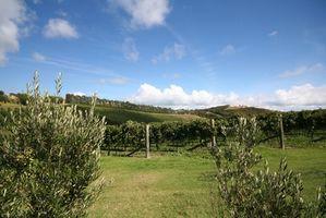 A proposito di fatti Olive Tree Flowers