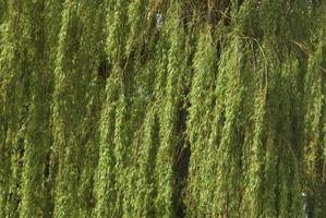 Come per fertilizzare Deep Roots su un Salice piangente