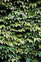 Come identificare una sconosciuta Vite in Zona 7 con foglie simili a una pianta di pomodoro