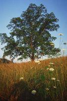 Quali sono macchie marroni su Pecan Tree foglie?