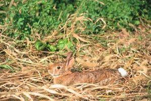 Non conigli mangiano Petunia?