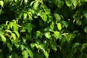 Problemi delle piante Ficus