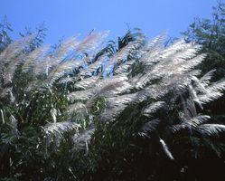 Cura di una pianta di canna da zucchero in Arizona