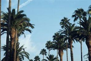 Fasi di crescita di palme da dattero