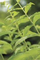Come coltivare un Hairy Mountain Mint impianto