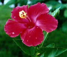Come prendersi cura di una pianta Hibiscus