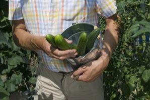 Come coltivare giapponesi Cetrioli