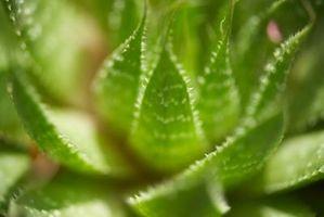 Come sbarazzarsi dei parassiti sulle Piante di Aloe Vera