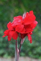Che cosa è rosso Canna Root?