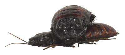 Opzioni per Uccidere scarafaggi