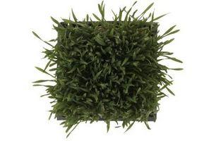 Wheatgrass che crescono Sistemi