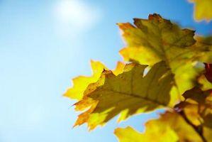 Come calcolare Leaf Area