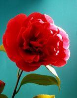 Come coltivare Camellia Flowers