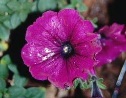 Giardinaggio fiore per terreno acido