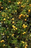 A proposito di spruzzatura alberi da frutto dopo la potatura