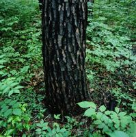 Malattie quercia con macchie nere Fuoriuscire sulla corteccia