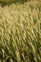 Qual è la germinazione dei semi di orzo?