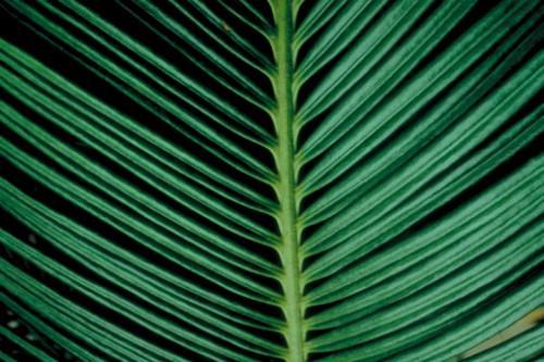 Il nome di una pianta che assomiglia alla palma