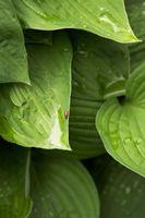 Le cause di macchie bianche sulle piante Hosta