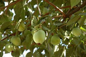 Quale frutto alberi hanno Spurs?