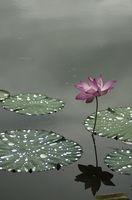 Come seminare i semi della Lotus