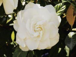 Cura per Gardenia Arbusti