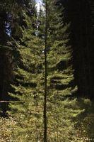 Come raddrizzare un albero sempreverde