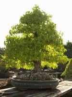 Come potare bonsai alberi abbattuti nel selvaggio