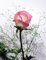 Come tagliare rose a stelo lungo