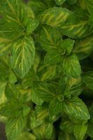 Indoor Plants Mint