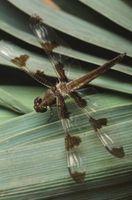 Perché le libellule mangiano foglie Fiori '?