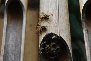 Come uccidere un nido di carta Wasp