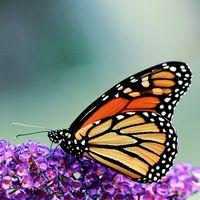Ragioni per le quali una farfalla Bush Non BLOOM