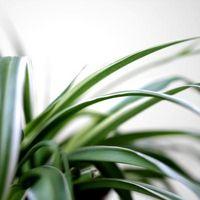 Basi Brown sulle foglie delle piante Spider