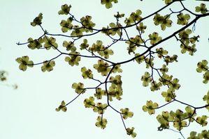 A proposito di fatti Bianco Dogwood alberi
