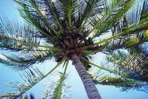 Macchie marroni sulle foglie di un albero di cocco