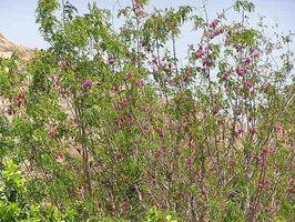 Come far crescere una robinia (Robinia pseudoacacia)