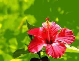Come raccogliere i semi di Hibiscus